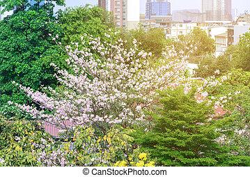 Beautiful pink flowers in city, Tabebuia rosea.