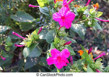 Beautiful pink flowers in garden. Flowers wallpaper