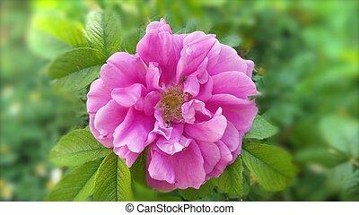 Beautiful pink flowers in the garden