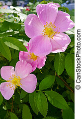Beautiful pink flowers of dog rose