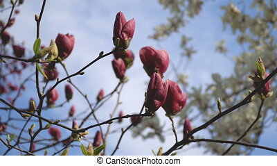 Beautiful pink flowers of magnolia bloom closeup in broad...
