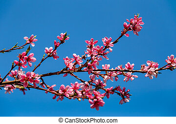 Beautiful pink flowers of spring tree