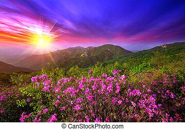 Beautiful pink flowers on mountains at sunset, Hwangmaesan mountain in South Korea.