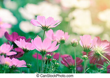 Beautiful pink flowers with sunlight in summer.