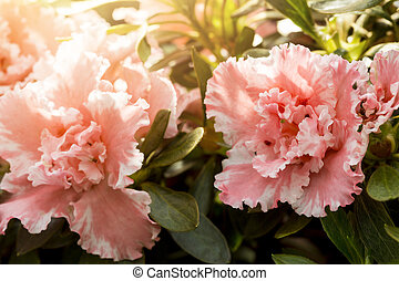 beautiful pink flowers with the sun behind