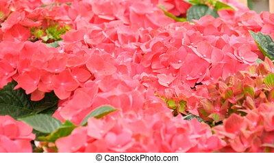 Beautiful pink fresh flowers on the exhibition in Keukenhof...