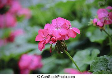 beautiful pink geranium flower blooming in garden