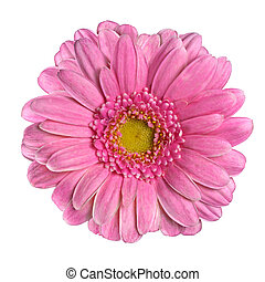 Beautiful Pink Gerbera Flower Closeup Isolated on White Background