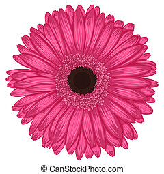 Beautiful pink gerbera isolated on white background .