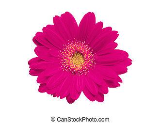 Beautiful pink gerbera on white background