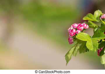 Beautiful pink hawthorn blossom. Spring background