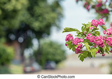 Beautiful pink hawthorn blossom. Spring background. Close up