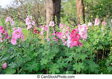 Beautiful pink hollyhock flowers in garden.