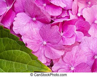 Beautiful pink hortensia close up. Artistic natural background.