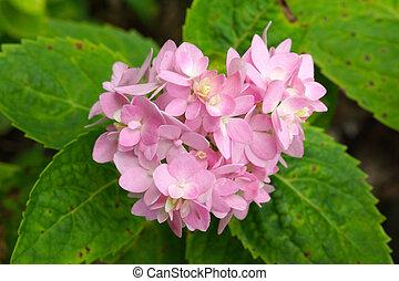 Beautiful Pink Hydrangea Flowers Close-Up