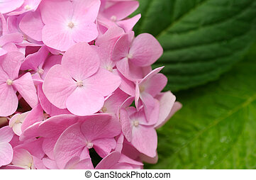 Beautiful Pink Hydrangea Flowers with Green Leaves