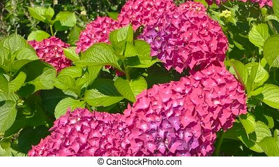 Beautiful pink hydrangeas. Leaves and flowers. How to grow...