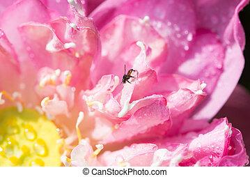 Beautiful pink lotus