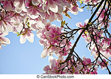 Beautiful pink Magnolia tree in blossom at springtime