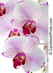 Beautiful pink orchid close up.