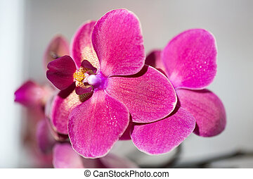 beautiful pink Orchid flower on a light background
