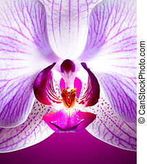 Beautiful Pink Orchid Flower on Violet Background