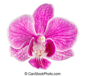 pink orchid head, isolated on a white background