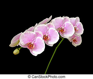 Beautiful pink orchid isolated on a black background