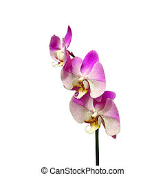 Beautiful pink orchid isolated on a white background