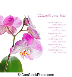 Beautiful pink orchid on a white background