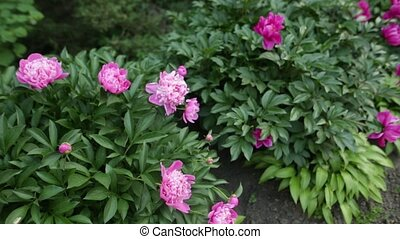 Beautiful pink peonies blossom on the flower garden of the botanical garden.