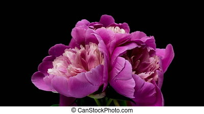 Beautiful pink Peony bouquet background. Blooming peony flowers open, time lapse, close-up. Birthday, Valentine's Day concept. 4K UHD video timelapse