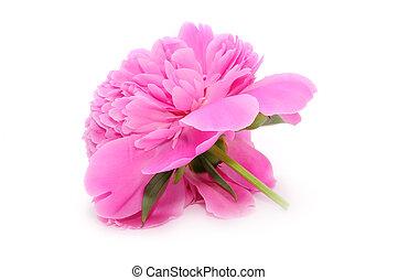 Beautiful Pink Peony Flower Isolated on White Background