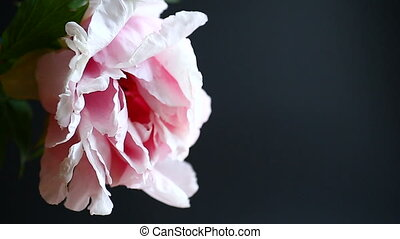 beautiful pink peony on a black background