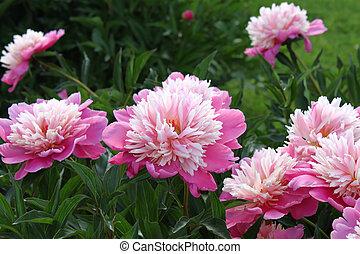 Beautiful pink peony - Beautiful delicate pink peony flowers