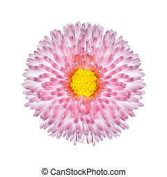 Beautiful Pink Perennial Daisy Flower Isolated with Yellow Center on White Background