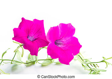 Beautiful pink petunia flower, isolated on white background