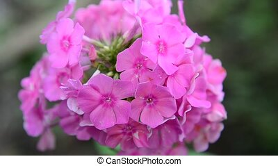 Beautiful pink phlox inflorescence closeup - Beautiful pink...