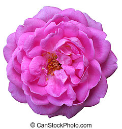 beautiful pink rose against a white background.