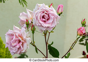 Beautiful pink rose bush.