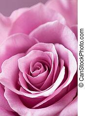 beautiful pink rose flower closeup background