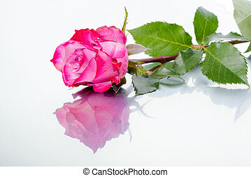 beautiful pink rose flower on light background with reflection, close up