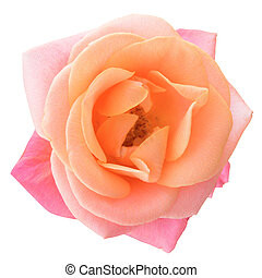 Beautiful Pink Rose Flower on the White Background