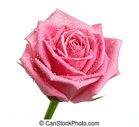 pink rose head isolated on white background