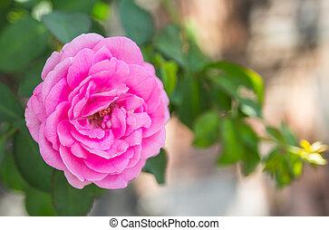 Beautiful pink rose in a garden