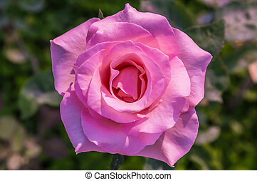 Beautiful pink rose in the garden.
