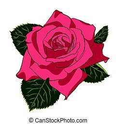 Beautiful pink rose, isolated on white background. Botanical...