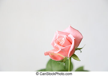 Beautiful pink rose on a gray background