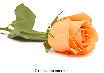 Beautiful pink rose on a white background.