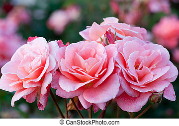Beautiful pink roses in the garden